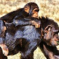 Mother Chimpanzee With Baby On Her Back by George Atsametakis