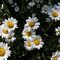 Mountain Daisies by Jim Garrison