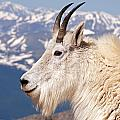 Mountain Goat Portrait On Mount Evans by Fred Stearns