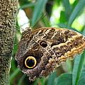 Mournful Owl Butterfly by Amy McDaniel