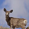 Mule Deer   #0722 by J L Woody Wooden