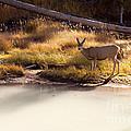 Mule Deer   #3942 by J L Woody Wooden