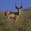 Mule Deer Buck In Velvet   #2231 by J L Woody Wooden