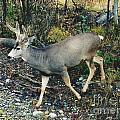 Mule Deer by D Hackett