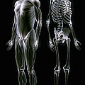 Muscles And Bones by Science Picture Co