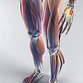 Muscles Of The Lower Body by Science Picture Co