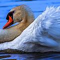 Mute Swan 2 by Brian Stevens