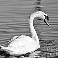 Mute Swan by Carol  Bradley
