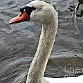 Mute Swan by Howard Stapleton