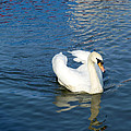 Mute Swan by Tony Murtagh