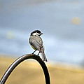 My Little Chickadee by Larry Bishop