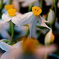 Narcissus Tazetta by Stelios Kleanthous