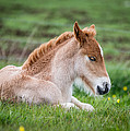 New Born Foal, Iceland Purebred by Panoramic Images