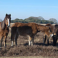 New Forest Ponies by Chris Day