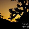 New Photographic Art Print For Sale Joshua Tree At Sunset by Toula Mavridou-Messer
