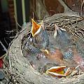 Newborn Robins by Bonnie Scaggs-Weiss