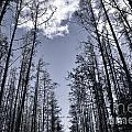 North Woods Forest by Birgit Tyrrell