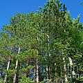 North Woods Tree Line by Birgit Tyrrell