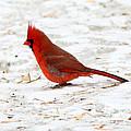 Northern Cardinal by Lori Tordsen