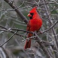 Northern Cardinal by Ronnie Prcin