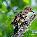 Northern Flicker by Rodney Campbell