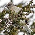 Northern Mockingbird by Gaurav Singh