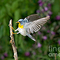 Northern Parula Warbler by Anthony Mercieca