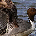 Northern Pintail Duck by Sue Harper