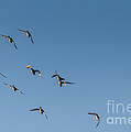 Northern Pintails  by Robert Bales