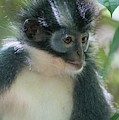 Northern Sumatran Leaf Monkey by Scubazoo