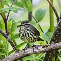 Northern Water Thrush by Doug Lloyd