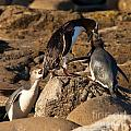 Nz Yellow-eyed Penguins Or Hoiho Feeding The Young by Stephan Pietzko