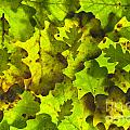 Oak Leaf Background by Lee Avison