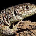 Ocellated Lizard Timon Lepidus by David Kenny