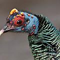 Ocellated Turkey Portrait by Anthony Mercieca