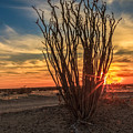 Ocotillo Sunset by Robert Bales