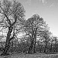 Old Trees by Roy Pedersen