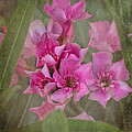 Oleander Cluster by TN Fairey