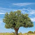 Olive Tree by Roy Pedersen