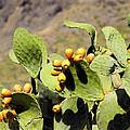 Opuntia Ficus-indica by Karol Kozlowski