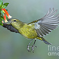 Orange-crowned Warbler by Anthony Mercieca