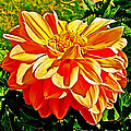 Orange Dahlia On Taquille Island In Lake Titicaca-peru  by Ruth Hager