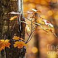 Orange Fall Maple by Elena Elisseeva