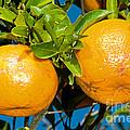 Orange Fruit Growing On Tree by Millard H. Sharp