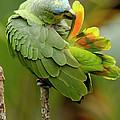 Orange-winged Parrot Amazona Amazonica by Pete Oxford