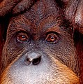 Orangutan  by FL collection