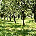 Orchard by Dan Radi