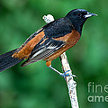 Orchard Oriole Icterus Spurius Adult by Anthony Mercieca