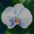 Orchid Dance 2 by H Cooper
