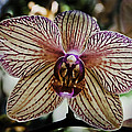 Orchid by John Cocchi